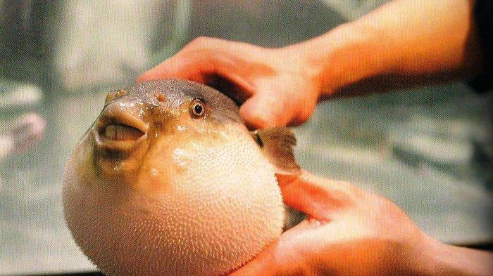 Ikan Buntal yang Beracun dan Mematikan, Tapi Digemari dan Banyak Dikonsumsi di Jepang