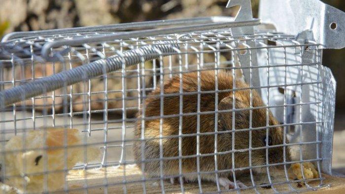 Memasang Perangkap Tikus di Rumah, Pakai Umpan Apa?
