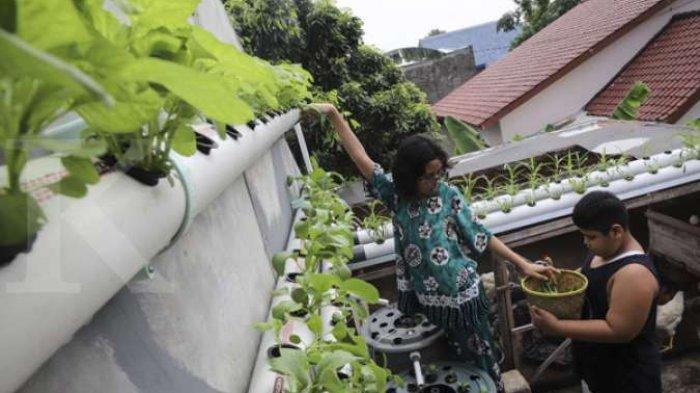 Menanam Sayuran di Pekarangan Rumah, Menghemat Uang Belanja Saat Pandemi Virus Corona