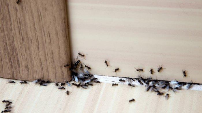 Cara mengusir semut dari rumah