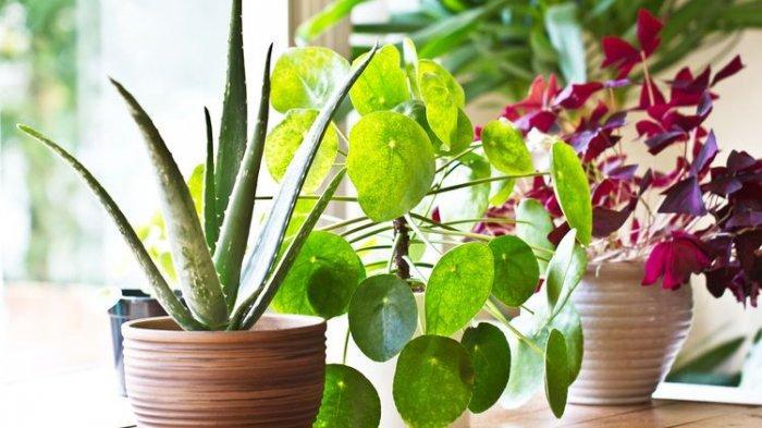 Tidak hanya mempercantik rumah, tanaman-tanaman ini juga menyerap debu sehingga kualitas udara di rumah menjadi lebih bersih.