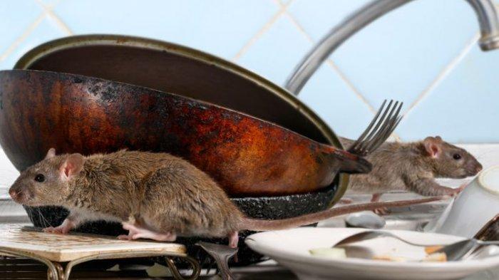 5 Cara agar Tikus Tidak Bersarang di Dapur