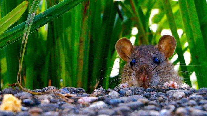 Tikusadalah salah satu hama yang keberadaannya mengganggu di rumah. Tidak hanya merusak berbagai benda,tikusjuga bisa menyebarkan penyakit.