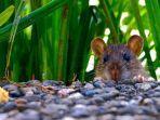 tikus-lewat.jpg