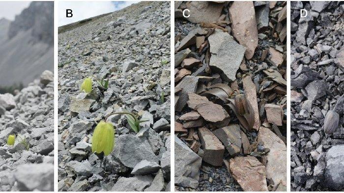 Sering Diburu Manusia, Bunga Ini Menyamar Jadi Batu
