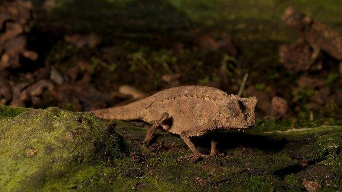Ini Reptil Terkecil di Dunia, Panjang Tubuhnya Tak Sampai 2 Sentimeter