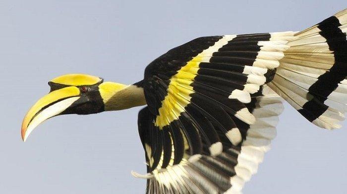 Mengapa Burung Enggang Begitu Penting Bagi Msyarakat Suku Dayak? Ini Alasannya