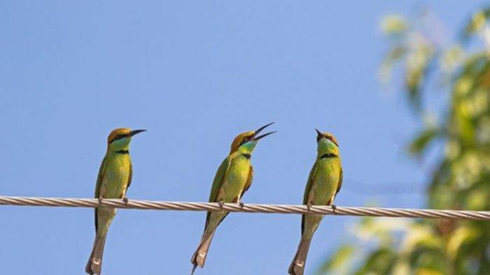 Kenapa Burung Tidak Kesetrum Saat Bertengger di Kabel Listrik?