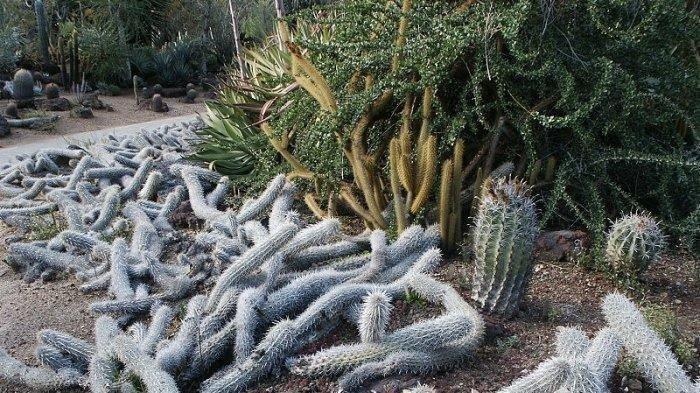 Kaktus Paling Aneh di Dunia, Bisa Merangkak dan Bergerak Sendiri