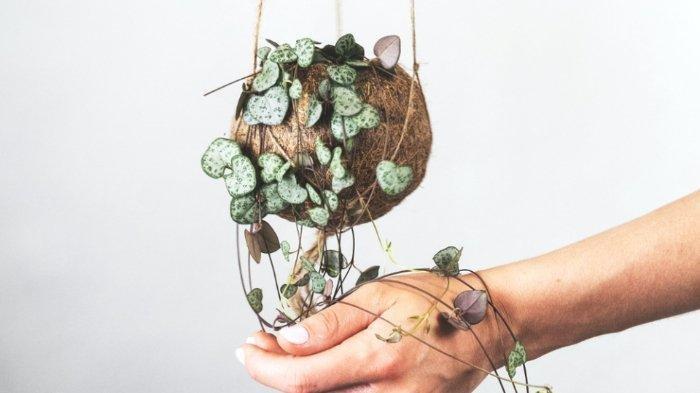String of Hearts, Tanaman Hias yang Diprediksi Populer di Tahun 2021