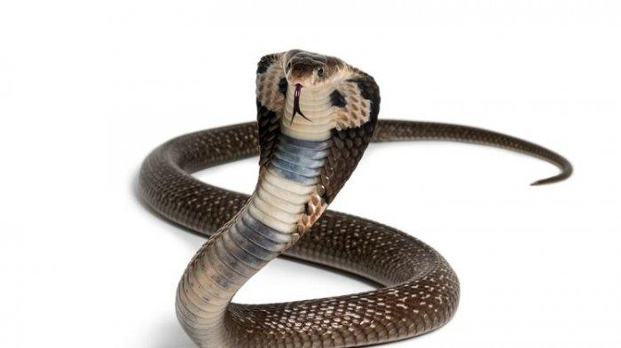 Sedang Musim Menetas, Ini Cara Mengatasi Gigitan Ular Kobra yang Mematikan