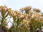 bunga-edelweis.jpg
