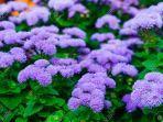 floss-flower.jpg