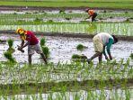 petani-beras-padi.jpg