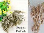 rumput-fatimah.jpg