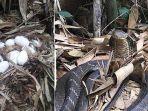 telur-ular-kobra.jpg