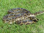 ular-di-alam-terbuka.jpg