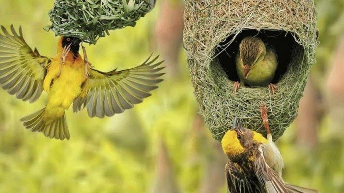Ini Fakta Unik Burung Manyar Ada Pintu Jebakan Di Sarangnya Tribunmanado Travel