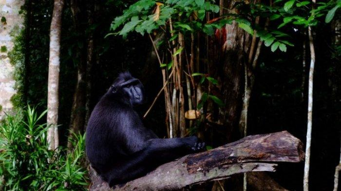 Monyet Wolai