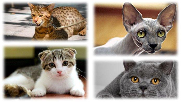 12 Jenis Kucing Paling Mahal Di Dunia Ashera Bisa Sampai Rp 1 7 M Tribunnews Com Mobile