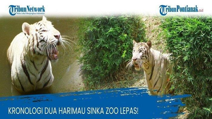 Kolase - Dua ekor harimau Sinka Zoo lepas Jumat 5 Februari 2021.