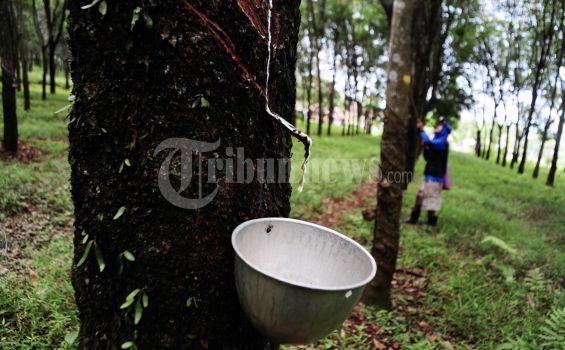 Pemerintah Perhatikan Petani Saat Terjadi Gejolak Harga Karet