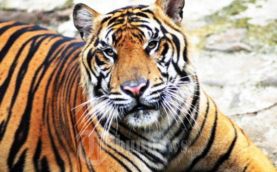 FAKTA Remaja di Riau Tewas Diterkam Harimau, Berawal Cari Sinyal HP, Berakhir Teriakan Minta Tolong