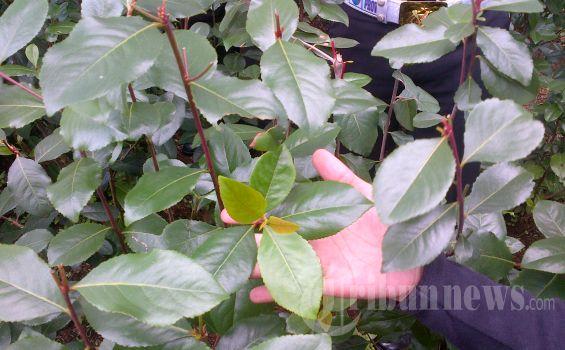 Tiga Hektar Lahan Tanaman Khat Di Cisarua Akan Dimusnahkan Tribunnews Com Mobile