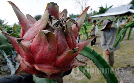 Petani memanen buah naga (Hylocereus undatus) yang ditanam di bantaran sungai kawasan Lamreueng, Banda Aceh, Rabu (13/3/2013). Selain rasanya yang segar, buah dari tumbuhan jenis kaktus asal Amerika Tengah tersebut juga digunakan sebagai asupan pendamping bagi penderita penyakit kanker, kolesterol, stroke serta demam berdarah. SERAMBI/M ANSHAR