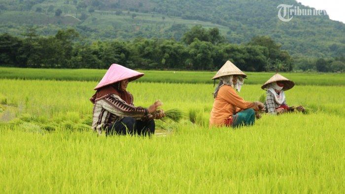 BPS: Nilai Tukar Petani Dan Nilai Tukar Usaha Pertanian Bulan Mei 2021 Alami Peningkatan