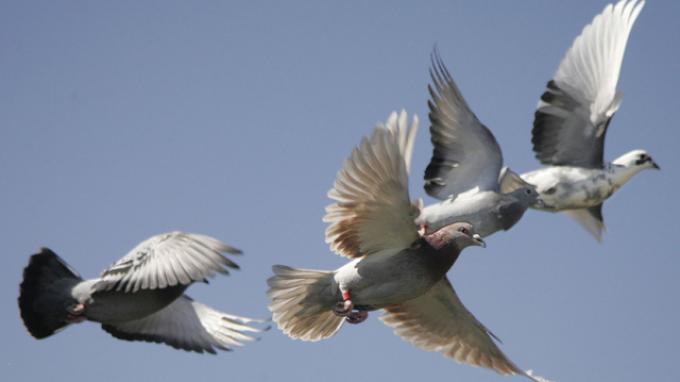 Burung Merpati Ini Ditahan Polisi, Ternyata Ini Pemicunya