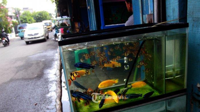 'Jesika Mo' Bantu Pedagang Dapatkan Sertifikat Kesehatan Ikan Hias