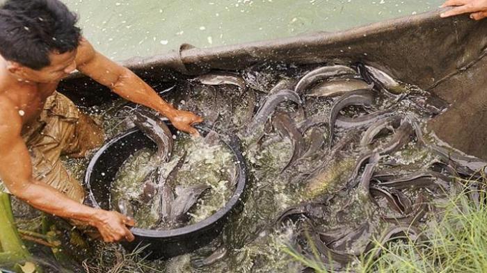 Wow Baru 45 Hari Budidaya Ikan Lele Sistem Bioflok Sudah Bisa Dipanen Tribunnews Com Mobile