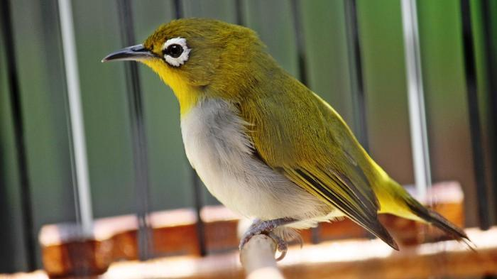 Kicauan Ngebas Alasan Burung Pleci Diburu Penggemar Tribunnews Com