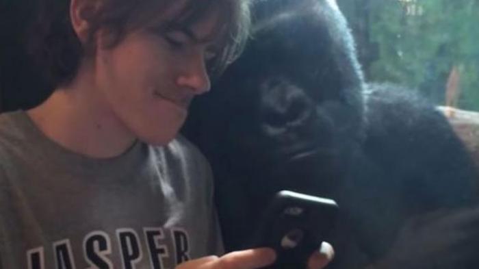 Gorila Ikut Nimbrung Lihat Anak Muda Ini Mainan iPhone