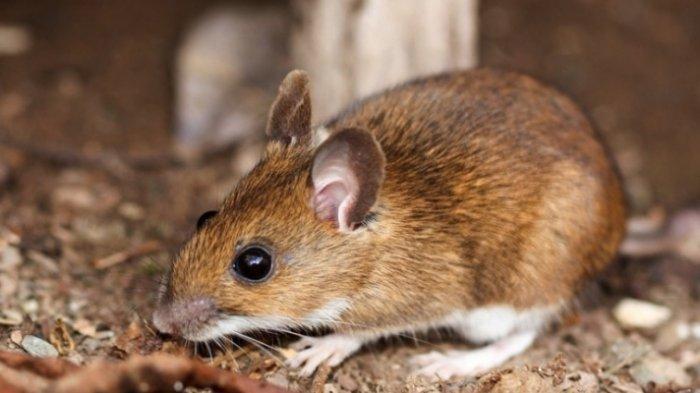 6 Fakta Hantavirus, Virus yang Dibawa oleh Tikus: Kenali Gejala, Cara Penularan hingga Pengobatannya