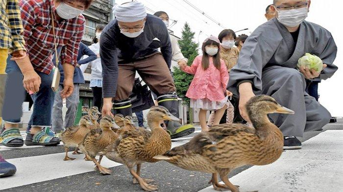 Delapan bebek menyeberang jalan dibantu oleh warga setempat jadi tontonan menarik.