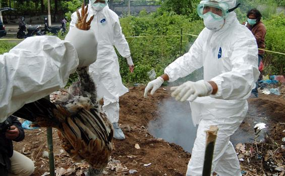 Pandemi Corona Belum Usai, Korea Selatan Diserang Wabah Flu Burung