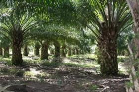 Produksi Kelapa Sawit Indonesia Kalah dari Malaysia, Ini Penyebabnya