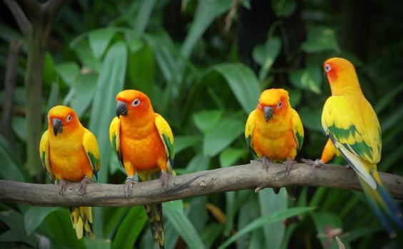 Love Bird memang sedang menjadi idola di kalangan penggemar burung kontes.