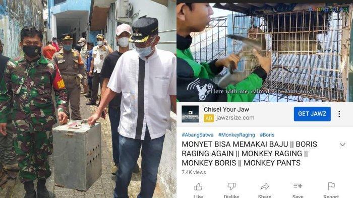 Ada dugaan melakukan eksploitasi kepada hewan peliharaannya, 3 monyet milik Youtuber Agung Satwa disita petugas.