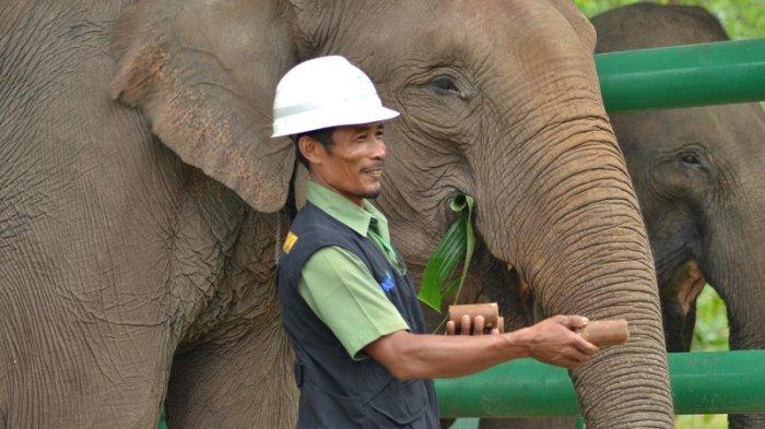 Suka Duka Sarmin Merawat Gajah di Estate Ukui, Kabupaten Pelalawan