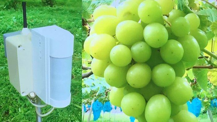 Pandemi Meningkatkan Jumlah Pencurian di Jepang, Petani Anggur Muskat Pasang Alat Sensor