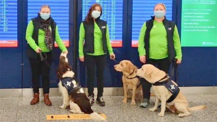 Anjing Golden Retriever Dapat Mendeteksi Apakah Seseorang Terinfeksi Covid-19 atau Tidak