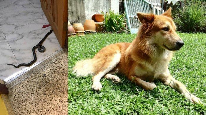 Kisah Seekor Anjing Rela Mati Demi Selamatkan Keluarganya dari Serangan Ular Berbisa