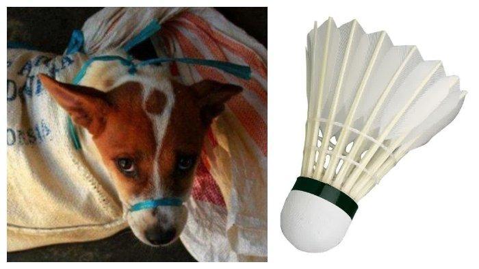 Invesigasi Dog Meat Free Indonesia (DMFI) di Solo menyebut, anjing tidak hanya marak dikonsumsi, bahkan kulitnya dijadikan bahan untuk membuat shuttlecock.