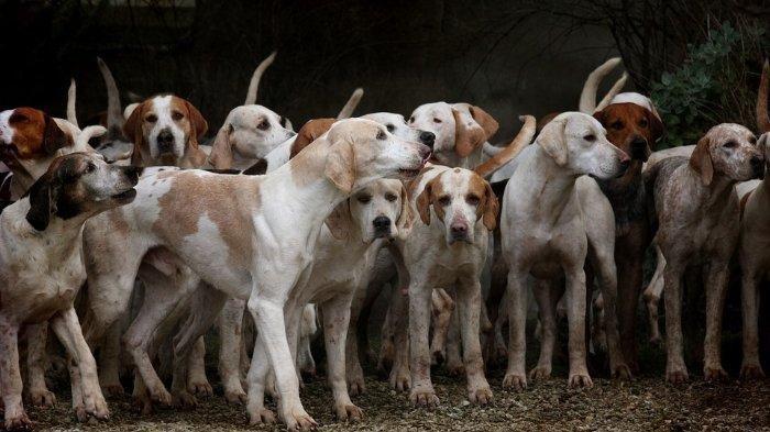 Sekitar 13.700 Anjing Dibunuh untuk Dikonsumsi di Solo, Pemprov akan Buat Aturan Larangan