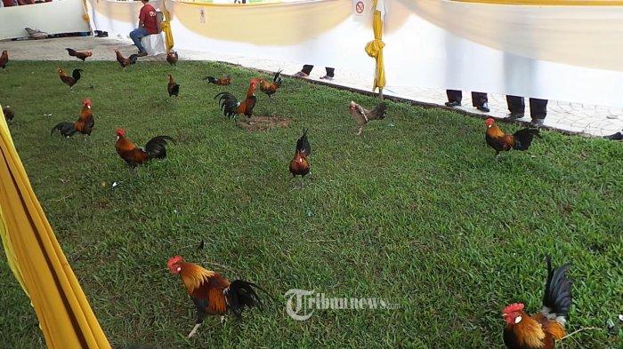 Tahun Depan, Indonesia Ekspor Ayam Kampung ke Malaysia