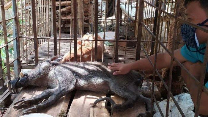 Babi hutan atau celeng berkaki aneh di Desa Pekuncen, Kecamatan Jatilawang, Kabupaten Banyumas, Jawa Tengah, Senin (15/6/2020).