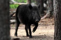 Tersesat, Babi Hutan Bertaring Panjang Masuk Kampung Warga di Pangandaran